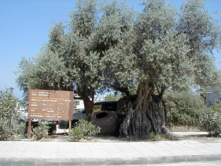 600 year old Olive tree - Polis